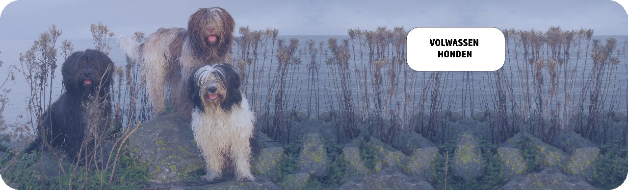 volwassen-honden-1.jpg